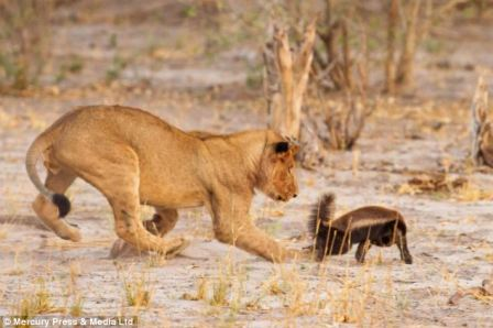 Honey Badger challenges  a lion - Photo by Mercury Press & Media Ltd