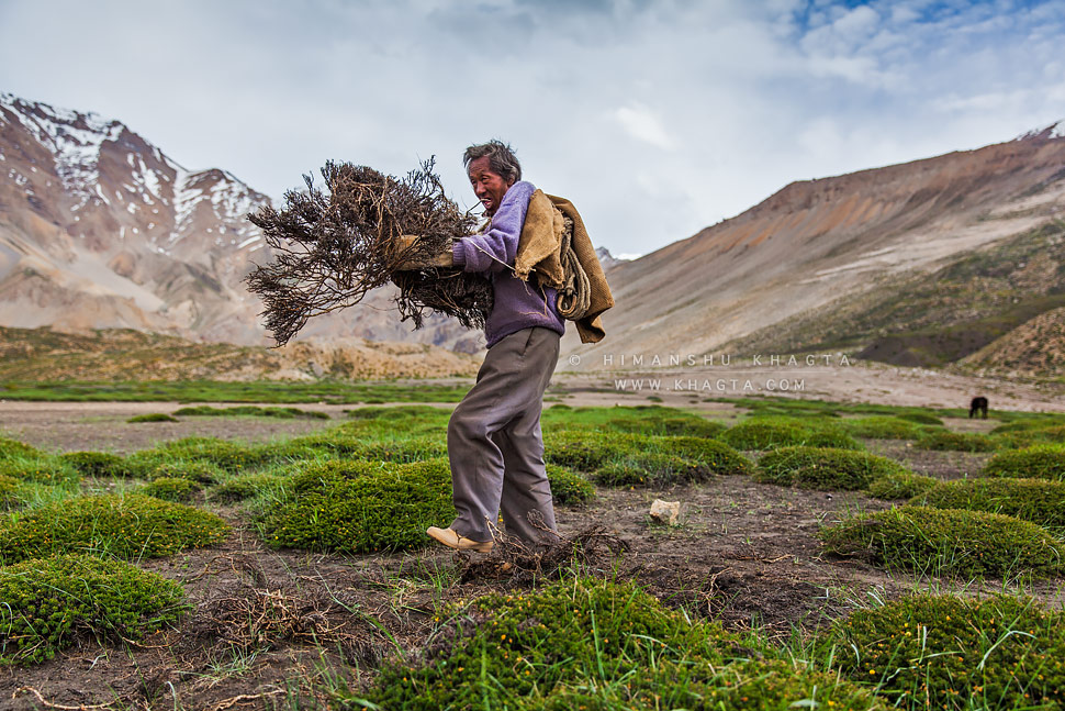 An old Spiti man collects the dry shrubs used as a fuel in the treeless landscape of Spiti, Himachal Pradesh, India