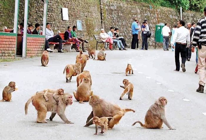 No Monkey Business In Shimla_2